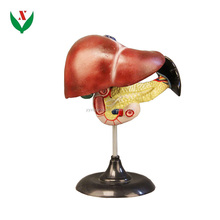 Liver,duodenum,pancreas model / anatomical model