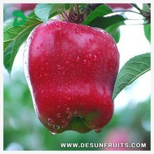 sell chinese 2013 fresh red delicous sweet crispy nutritive Tianshui huaniu apple