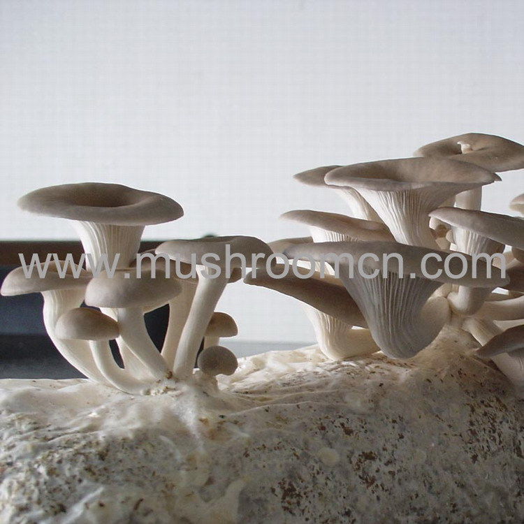 Sawdust Substrate grow your own oyster mushrooms