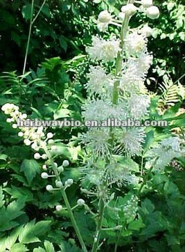 organic Black Cohosh extract,Cimicifuga foetida L extract powder