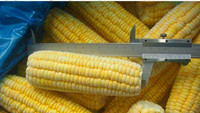 New crop iqf frozen yellow corn cob from China