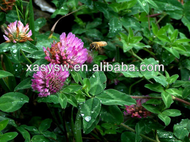 High Quality Organic Red Clover Extract 8% 20% 40%