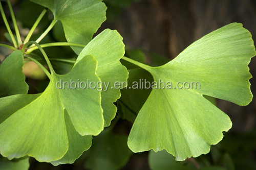 ISO9001 Factory Pure Natural Ginkgo Biloba Extract Ginkgo flavone 24%