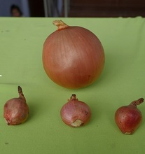 Supply fresh small red shallot