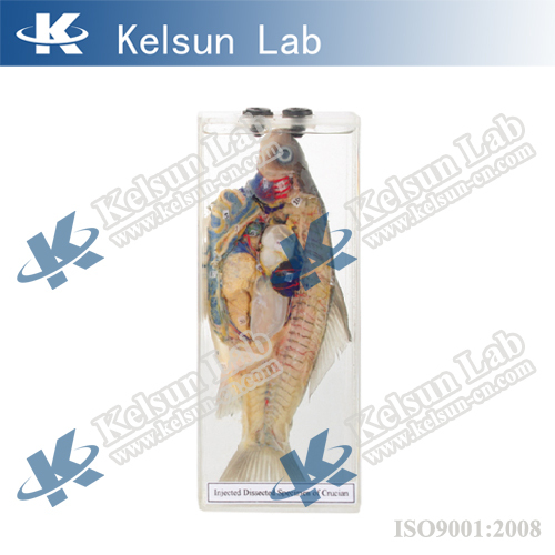 50203.05 Injected dissected specimen of crucian