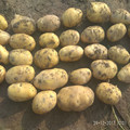 fresh potato price per ton