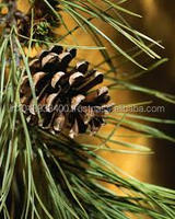 Best Leading Wholesaler Supplier/ Exporter for Pine Bulk Essential Oil