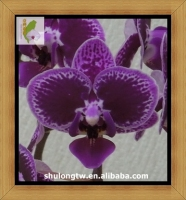 "Deep Purple Miniature Phalaenopsis Orchid Plant in 1.7"" or 6 cm Pot Taiwan Orchid Nursery Mini Purple Orchid"