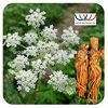 Angelica Root herb extract (Dong Quai oil extract powder) Ligustilides 100% natural plant extract free sample