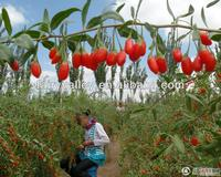 Your Garden Seeds Ningxia Goji Berries Seeds For Growing your goji from seeds