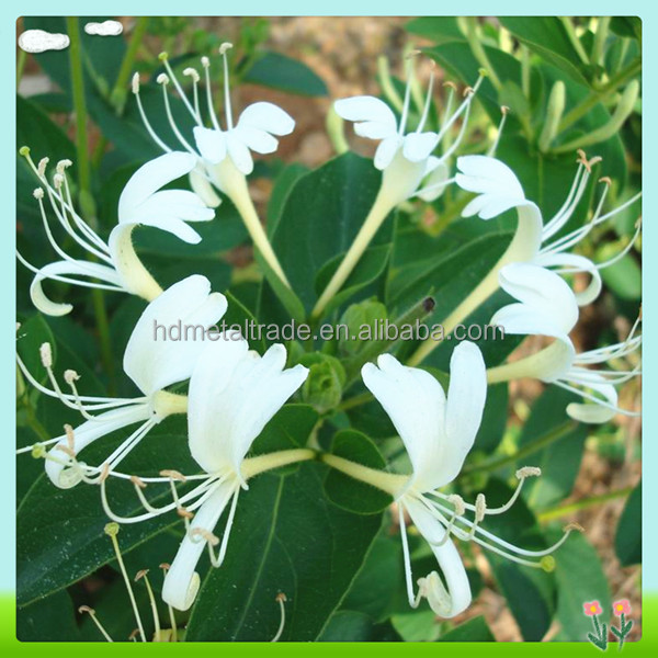 Nautral HoneySuchle Flowers Extract (Chlorogenic acid 10%~98%)