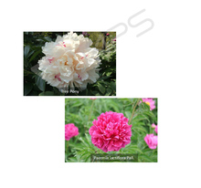 Factory supply Paeoniflorin Powder Peony Extract