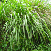 pure essential oil best price citronella oil suppliers