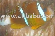 [Export] Australian Double stripes Clown fish