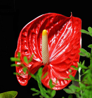As a gift fresh cut flower anthurium anthurium varieties from Kunming anthurium cut flowers