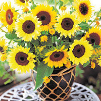 F1 Hybrid Flower Seeds Ornamental Sunflower Seeds For Sale