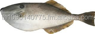FROZEN FRESH LEATHER JACKET FISH SEA FOOD/ SARDINE FISH/ TILAPIA