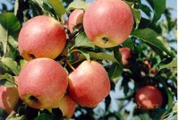 delicious red apple 2015 crop