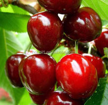 hot sale high quality new crop sweet fresh cherry