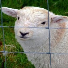 low price sheep wire mesh fence