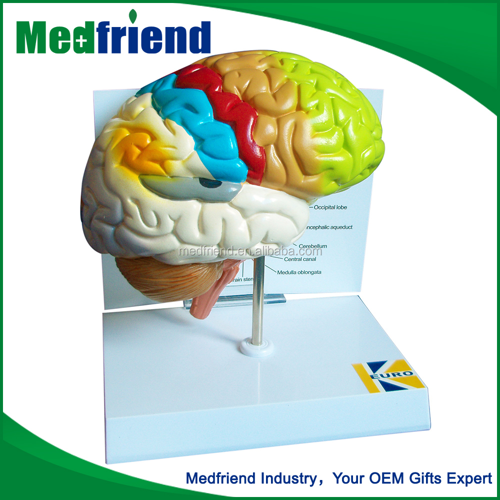 MFM001 Buy Wholesale Direct From China Pars 3D Brain Teaching Model For Education