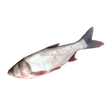 Frozen silver carp/Asian carp fresh fish