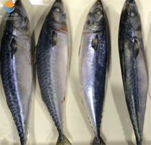 Frozen Pacific Mackerel 200g-300g frozen fish