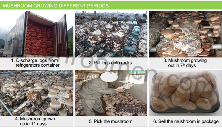 Health Food Shiitake Mushroom Block Shape For Cultivating