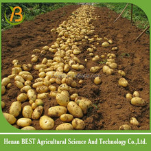 potato exporters in karachi pakistan/potato importer to singapore/potato holland