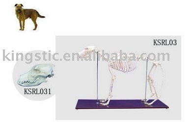Education model,Dog skeleton (skull)