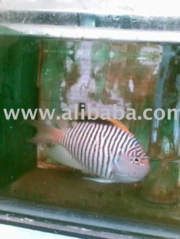 Marine ornamental fish buy marine ornamental fish for Ornamental pond fish port allen