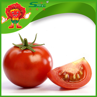 top quality red tomatoes cheap price sell directly from farm