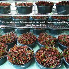 Our Aglaonema packing (Unroot-cutting)