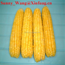 organic sweet frozen yellow corn maize cob for sale on lower price