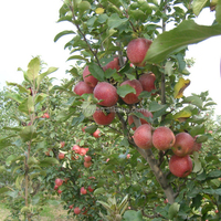 Fresh Chinese Qinguan Apple for export