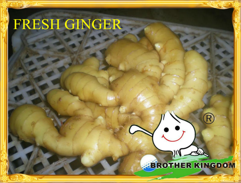 new crop China fresh ginger from fty