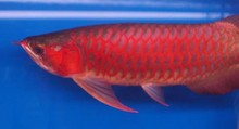 !!! Super Red Arowana, Black diamond rays , Albino rays on PROMOTION !!!