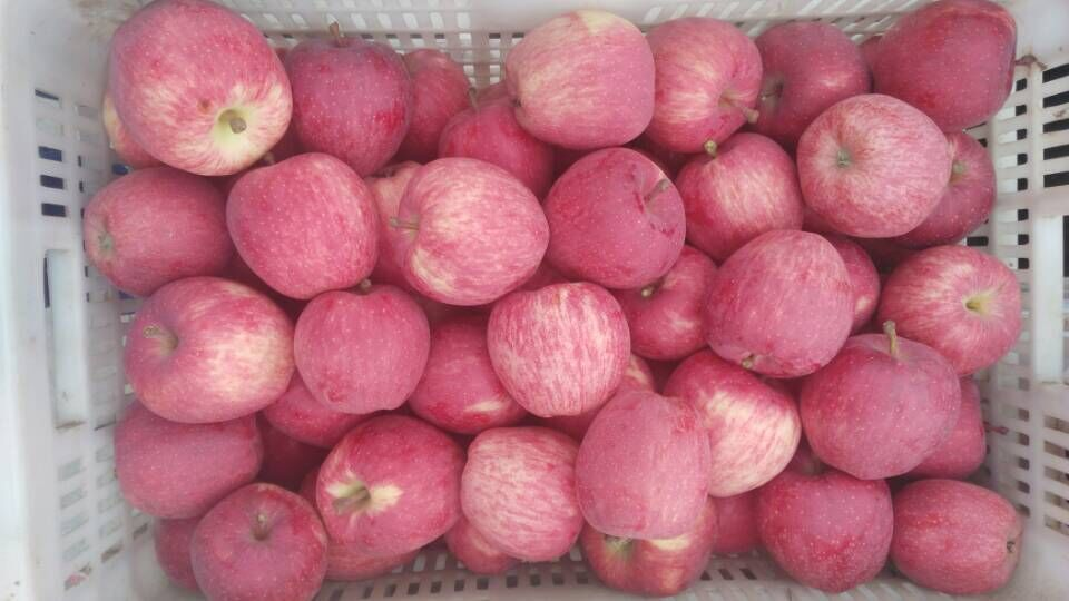freshsweet red star apple