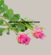 Wholesale holland roses desert rose plants for sale Cool beauty with 0.8_1.5kg/bundle