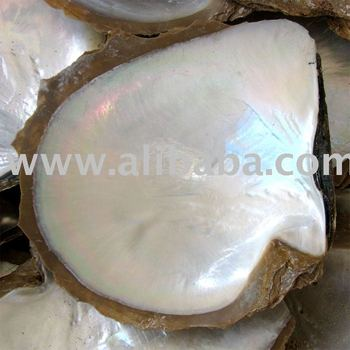 Atlantic pearl Oyster Shell