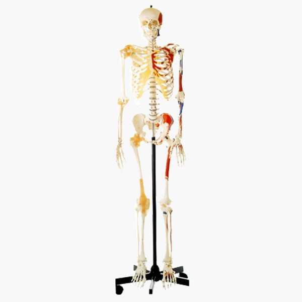 GD/A11102 Human Skeleton with One-side Painted Muscles Human skeleton model
