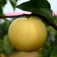 New Chinese Delicious Crown Pear