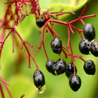 Pure Natural Elderberry extract