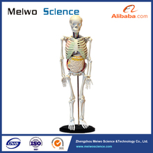human skeleton with internal organs anatomy model for medical exhibition