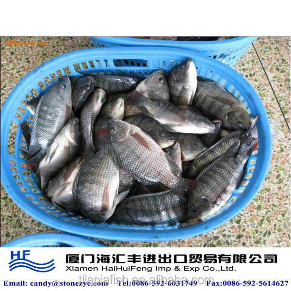 Frozen fish health food for sale