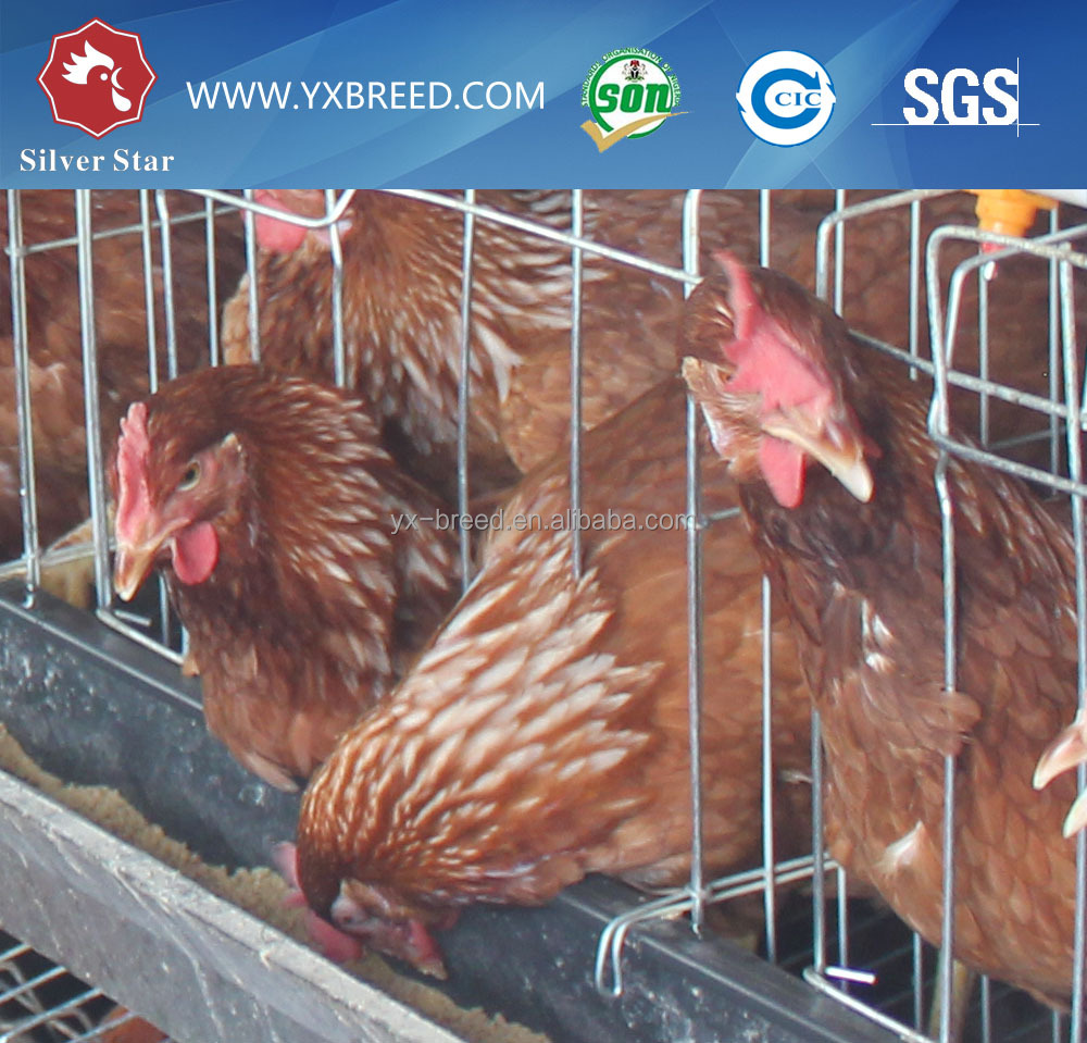 Automatic egg collecting machine chicken layer cage chicken egg poultry farm equipment
