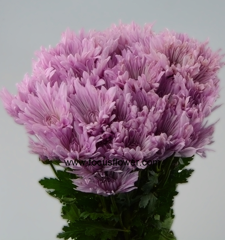 Hobby Lobby Wholesale Flowers From Kunming China Fresh Cut Chrysanthemum Flower