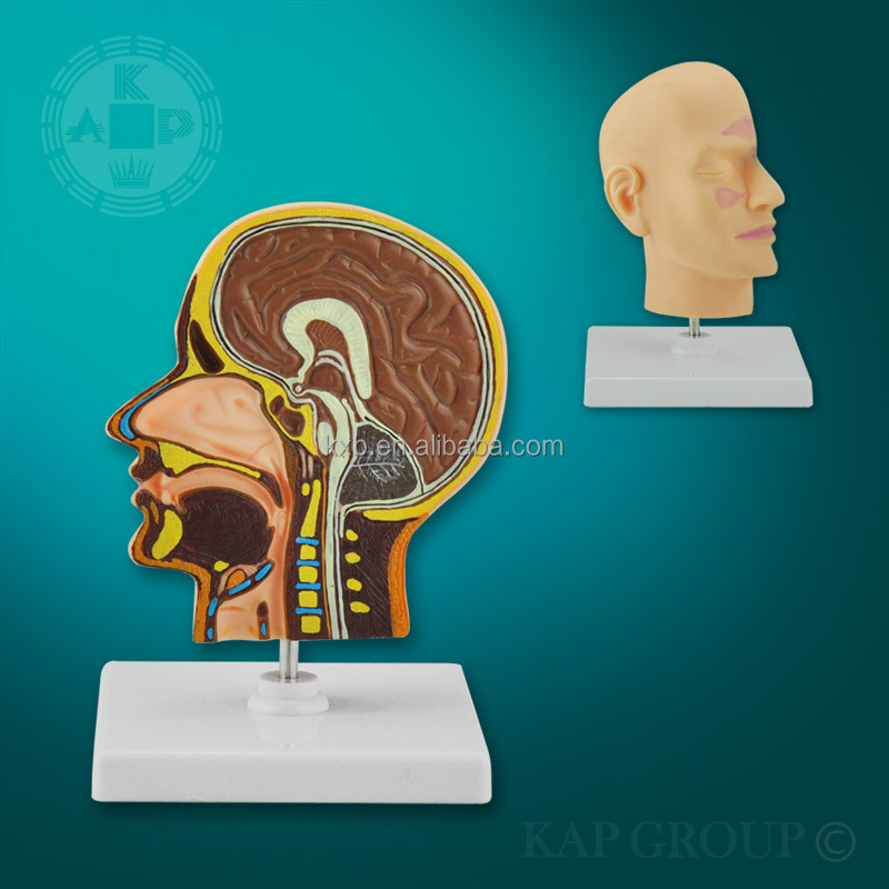 3d Biological plastic anatomy mannequins head of brain models