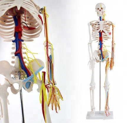 12367 Medical 85CM human.skeleton heart blood vessel nerve <strong>model</strong> small needle scalpel human.skeleton <strong>model</strong>