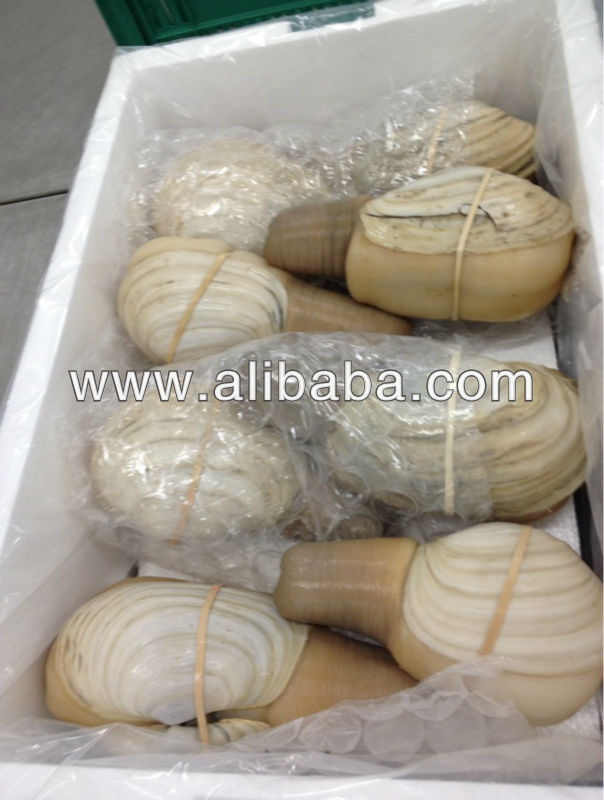 SONORA LIVE GEODUCK CLAM, WHITE SHELL, WHITE MEAT